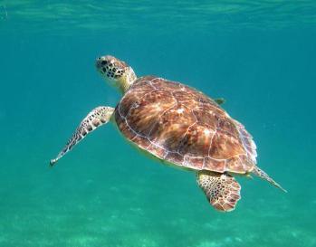 Akumal-Turtle-1